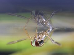 マツモムシ 水面に逆さに貼りつく 9月(P21)