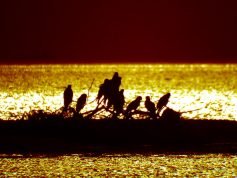 トビの群れ 西の湖の夕焼けに照らされる 11月(P28