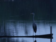 アオサギ 明け方湖畔にたたずむ 6月(非掲載写真)