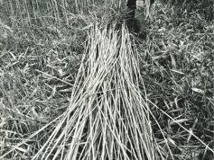 ヨシ刈り 文化的景観のひとつ(P7)photo by Dennosuke Nishimura